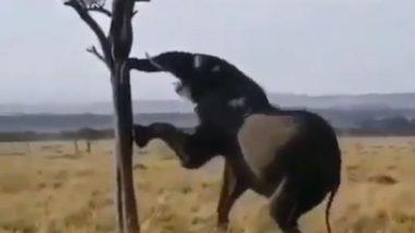 Viral Video: पेड़ की पत्तियों तक नहीं पहुंची भूखे हाथी की सूंड तो उसने लगाया गजब का जुगाड़, वीडियो हुआ वायरल