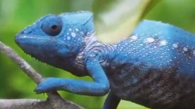 क्या आपने गिरगिट को रंग बदलते देखा है? Viral Video में देखें कैसे इस जीव ने 2 मिनट में कई बार बदला अपना रंग