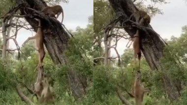 तेंदुए ने बड़ी मेहनत से किया शिकार, फिर लकड़बग्घों ने ऐसे छीना उसके मुंह से निवाला (Watch Viral Video)