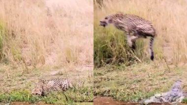 Viral Video: पानी पीते समय अचानक तेंदुए पर मगरमच्छ ने किया जबरदस्त हमला, वायरल वीडियो देख दहल जाएगा आपका दिल