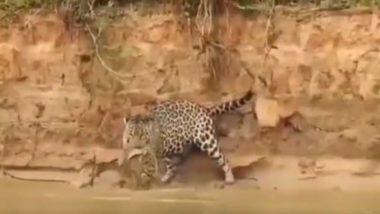 Viral Video: शिकारी तेंदुए ने शिकार के इरादे से अजगर पर किया जबरदस्त हमला, वायरल वीडियो में देखें आगे क्या हुआ?
