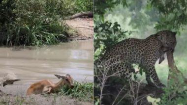 झील में पानी पीने गए हिरण की मगरमच्छ से बाल-बाल बची जान, तो घात लगाए शिकारी तेंदुए ने ऐसे किया उसका काम तमाम (Watch Viral Video)