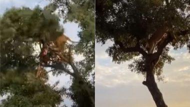 Viral Video: पेड़ पर चढ़े तेंदुए से शिकार छीनने के लिए शेर ने किया उसका पीछा, फिर जो हुआ उसे देखकर आप भी हो जाएंगे हैरान