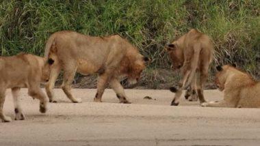 Viral Video: नन्हे केकड़े की क्यूट हरकत को देख मोहित हुए पांच शेर, उसके साथ ऐसे खेलते आए नजर