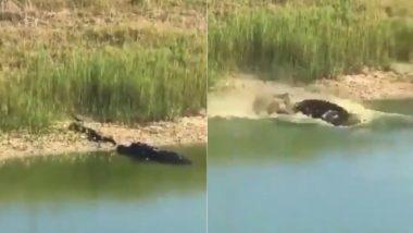 झील के पास लेटकर आराम फरमा रहा था विशाल अजगर, तभी शिकारी मगरमच्छ ने किया जबरदस्त अटैक (Watch Viral Video)