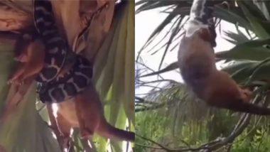 विशाल अजगर ने बनाया जिंदा लोमड़ी को अपना निवाला, वायरल वीडियो में देखे कैसे किया उसका शिकार (Watch Viral Video)