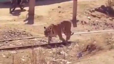 रेलवे ट्रैक पर बाघ को चलते देख उड़े लोगों के होश, बार-बार देखा जा रहा है यह Viral Video