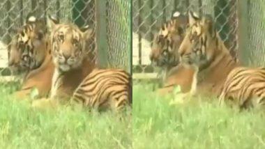 लखनऊ के नवाब वाजिद अली शाह चिड़ियाघर में पीलीभीत टाइगर रिजर्व के जंगलों से लाए गए 4 बाघ शावकों को अब देख सकेंगे दर्शक (Watch Video)