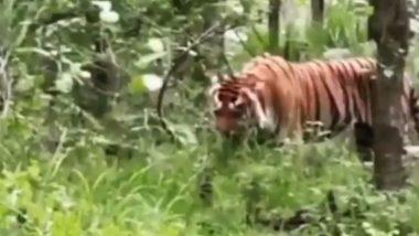 Viral Video: क्या आपने कभी बाघ को घास खाते देखा है? मध्य प्रदेश के सतपुड़ा टाइगर रिजर्व से वायरल हुआ हैरान करने वाला वीडियो