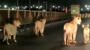 Lions Family Walking On Road Video: गुजरात की सड़कों पर घूमता दिखा शेरों का परिवार, देखें क्यूट वीडियो