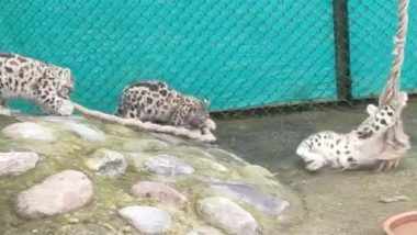 Video: दार्जिलिंग के पद्मजा नायडू हिमालयन जूलॉजिकल पार्क में हिम तेंदुए जिमा के तीन शावकों को खेलते कूदते देखा गया, देखें क्यूट वीडियो