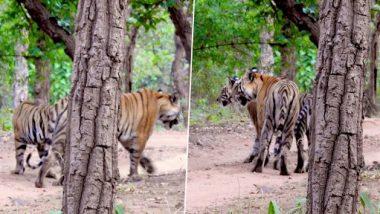 Viral: इन तस्वीरों में कई बाघ छिपे हैं, क्या आप गिनती कर बता सकते हैं कि इस फोटो में कितने टाइगर हैं?