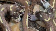 Two-Headed Snake Video: दो सिर वाले सांप का 2 चूहों को एक साथ निगलने का क्लिप वायरल, वीडियो देख चकरा जाएगा दिमाग