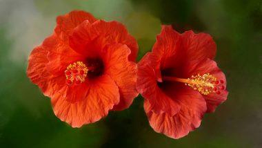 देवी दुर्गा का प्रिय फूल गुड़हल! जिसमें छिपा है सेहत और सौंदर्य का भी खजाना! जानें कैसे करें इस्तेमाल?