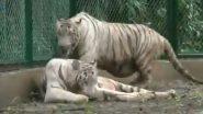 गुजरात: सूरत चिड़ियाघर को मिली सफेद बाघों की जोड़ी, बाघ-बाघिन का वीडियो सोशल मीडिया पर हुआ वायरल (Watch Viral Video)