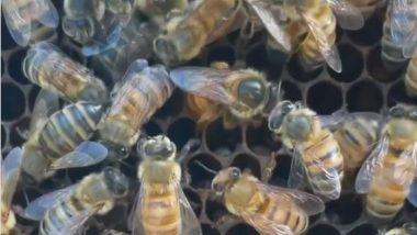 मधुमक्खियों के अंडे देने का वीडियो सोशल पर बटोर रहा है सुर्खियां, देखकर आप भी रह जाएंगे दंग (Watch Viral Video)