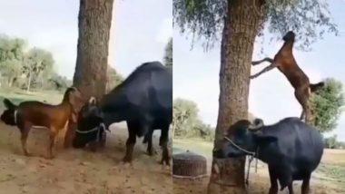 भूखी बकरी ने पेड़ से पत्तियां तोड़ने के लिए लगाई गजब की तरकीब, भैंस के ऊपर चढ़कर ऐसे मिटाई अपनी भूख (Watch Viral Video)