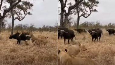 शिकार करने के लिए शेरों के झुंड ने किया भैंस पर हमला, करने ही वाले थे काम तमाम तभी… (Watch Viral Video)
