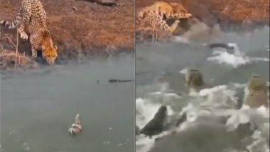 Viral Video: बत्तख का शिकार करने की फिराक में था चीता, तभी मगरमच्छ ने जबरदस्त अटैक करके किया शिकारी का काम तमाम