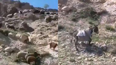 Donkey Viral Video: सामान ले जा रहे गधे का बिगड़ा संतुलन तो पहाड़ से गिरा धड़ाम, फिर जो हुआ…