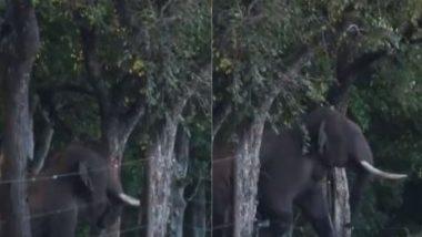 बिजली का तार बना रास्ते में रोड़ा तो उसे हटाने के लिए हाथियों के लीडर ने लगाई गजब की तरकीब, वीडियो हुआ वायरल (Watch Viral Video)