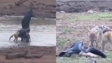 मछली पकड़ते समय सारस पर सियार ने किया जबरदस्त अटैक, देखें पक्षी कैसे हार गया जिंदगी की जंग (Watch Viral Video)