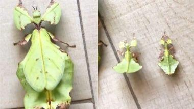 यह कीट है या किसी पेड़ का पत्ता? सोशल मीडिया पर वायरल हो रहे इस वीडियो को देख चकरा जाएगा आपका सिर (Watch Viral Video)