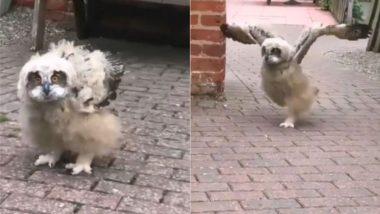 Owl Viral Video: उल्लू के चलने और उड़ने के अंदाज को देख उड़े लोगों के होश, बार-बार देखा जा रहा है यह वीडियो