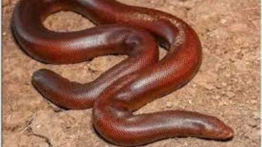 Sand Boa Snake: ब्लैक मार्केट में सैंड बोआ सांप की है सबसे ज्यादा डिमांड, जानें क्यों की जाती है इसकी तस्करी