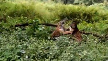 Tiger Fights Tiger: दो बाघों के बीच जब छिड़ी खतरनाक जंग, एक-दूसरे को कुछ इस तरह से पटखनी देते आए नजर (Watch Viral Video)