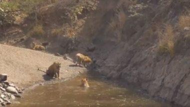 पानी नहाने का लुत्फ उठाते बाघों का मनमोहक Video हुआ Viral, उनके मस्तीभरे अंदाज ने जीता लोगों का दिल