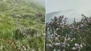 इडुक्की के शांतनपारा शालोम हिल्स में 12 साल बाद खिले नीलनुरिंकजी के फूल, देखें वीडियो