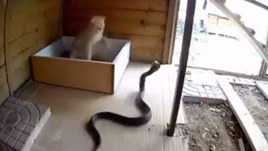 Cat and King Cobra Fight: बिल्ली और किंग कोबरा में हुई जबरदस्त लड़ाई, कैट ने मारा सांप को जोर का पंजा, उसके बाद जो हुआ..देखें वीडियो