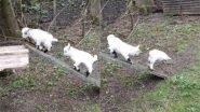 Viral Video: लकड़ी के पटरे पर चढ़कर अटखेलियां करते दिखे बकरी के बच्चे, वायरल वीडियो देख बन जाएगा आपका दिन