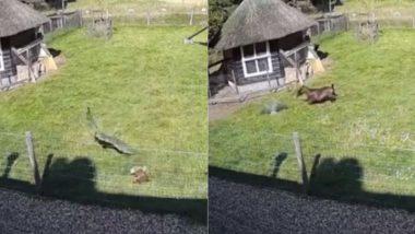 Viral Video: बाज ने एक खेत में मुर्गी पर किया जबरदस्त अटैक, बकरी और मुर्गे ने ऐसे बचाई उसकी जान