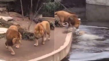 बाड़े में पानी के गड्ढे के पास सैर कर रहे थे दो शेर, अचानक फिसला पैर और उनमें से एक गिरा धड़ाम (Watch Viral Video)