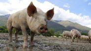 त्रिपुरा में अफ्रीकी स्वाइन फीवर की दस्तक, तीन सूअर मिले संक्रमित
