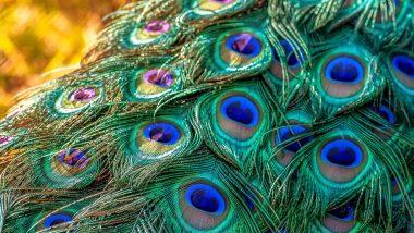 Importance of Peacock Feather: जानें किन-किन समस्याओं का समाधान करते हैं मोर पंख?