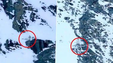 बर्फ की सफेद चादर से ढके चट्टान से गिरा हिम तेंदुआ, रोंगटे खड़े कर देने वाला वीडियो हुआ वायरल (Watch Viral Video)