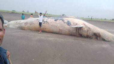 Shocking! मुंबई से सटे वसई में रनगांव बीच पर मिला 40 फीट लंबी व्हेल का शव, देखें Viral Video और तस्वीरें