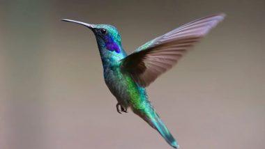 Female Hummingbirds: उत्पीड़न से बचने के लिए नर पक्षी जैसा वेश बना लेती हैं मादा हमिंगबर्ड