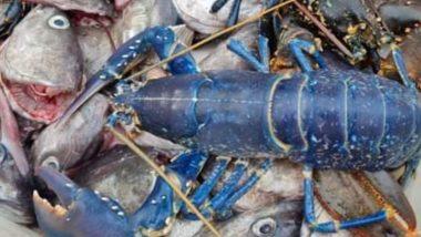 Viral Pics: मछली पकड़ते समय मछुआरे की जाल में फंसा दुर्लभ Blue Lobster, सोशल मीडिया पर वायरल हुई तस्वीरें
