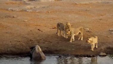 कीचड़ में फंसे गैंडे का शिकार करने के इरादे से तीन शेरों ने किया हमला, आगे जो हुआ उसे देख दंग रह जाएंगे आप (Watch Viral Video)