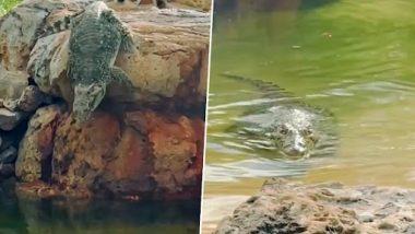 Crocodile Jumps Into Water: मगरमच्छ ने ऊंचाई से पानी में लगाई छलांग, उसके बाद जो हुआ...देखें वीडियो