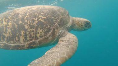 Tortoise Viral Video: 140 किलो के विशाल समुद्री कछुए को वापस पानी में छोड़ा गया, देखें अद्भूत वीडियो