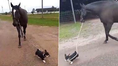 Dog Takes its Horse Friend for a Walk: क्यूट डॉग द्वारा अपने दोस्त घोड़े को सैर के लिए ले जाते हुए क्लिप वायरल, वीडियो देख हो जाएंगे हैरान