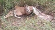 Python Swallows Deer: विशालकाय अजगर ने निगल लिया पूरा हिरण, उसके बाद जो हुआ..देखें वीडियो
