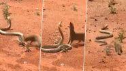 किंग कोबरा और नेवले के बीच हुई खतरनाक लड़ाई, देखें कौन हारा और कौन जीता