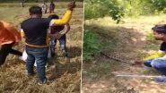Python Video: भंडारा जिले के लखनी पोहरा शिवारा में मिला विशाल अजगर, सर्प प्रेमियों ने सुरक्षित छोड़ा जंगल में, देखें वीडियो